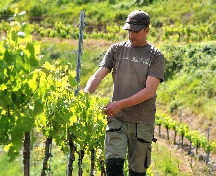 Dans les vignes du Domaine de la Carolie,