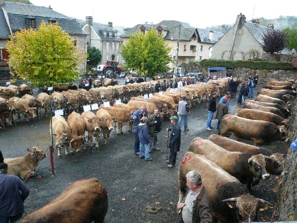Concours cantonal de la race Aubrac à St Chély d'Aubrac