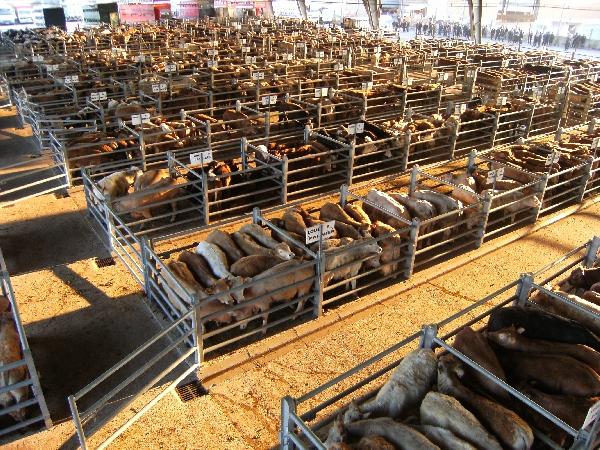 Visite guidée du marché aux bestiaux de Laissac