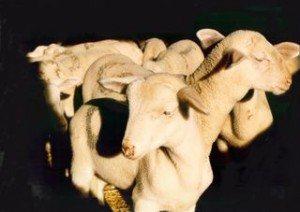 Vente de viande d'agneau, OFFICE DE TOURISME DE LA CAVALERIE