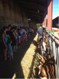 F'Estivales du Lot à l'Aubrac : traite des vaches