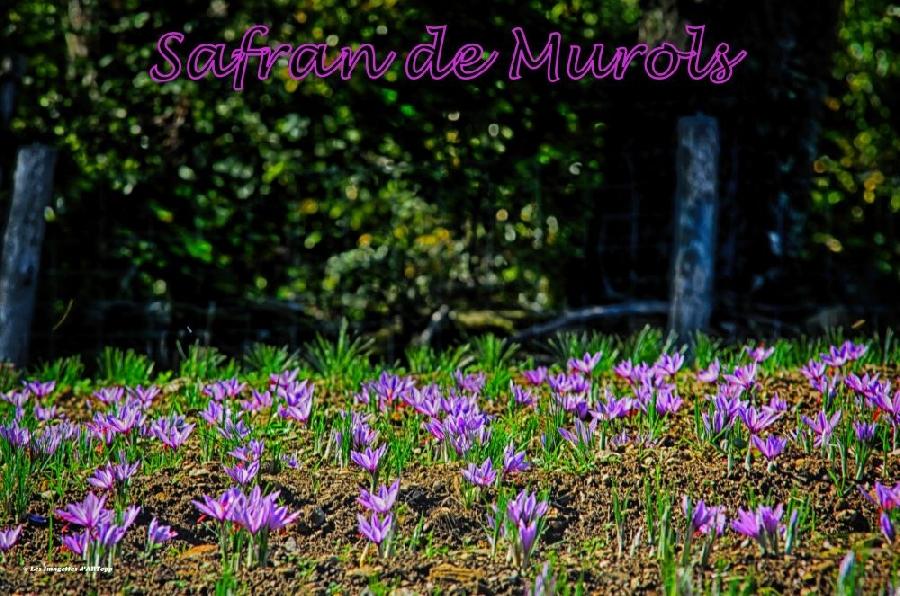 Safran de Murols - Ferme de Murols