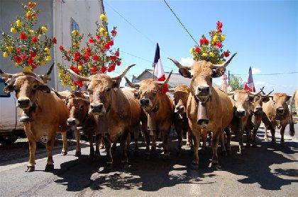 Passage des troupeaux en Transhumance à Salgues