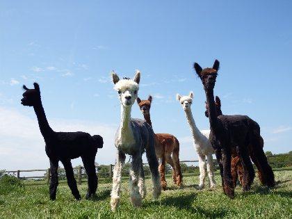 DuPrem Alpaga - Visite de la ferme et boutique