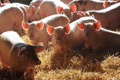 Visite d'un élevage de porcs sur paille, OFFICE DE TOURISME CANTONAL RANCE ET ROUGIER