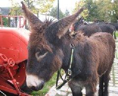 La Foire aux ânes à Thérondels